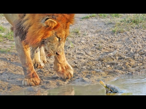 ライオンのことが好きなカメ_01