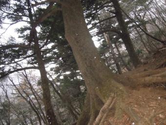 大山三峰縦走路のちょっと手前で大きなもみの木201219