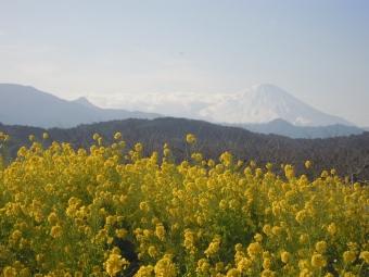 富士山と菜の花210125