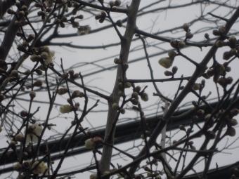 梅がほころび始めてる210127