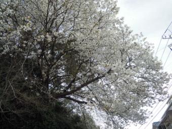 散り始めた早咲き桜210320