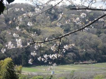 桜もう少し2103232