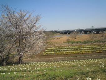 花畑水仙が一杯210323