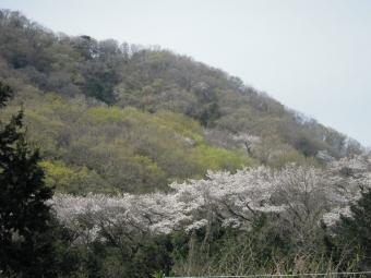 あの桜の所に向かう210327