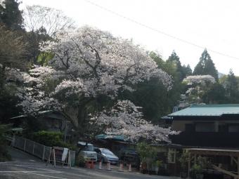 清水屋さんの所の桜210327