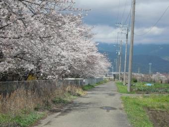 花菜ガーデン周りの桜210329