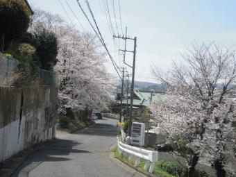 神社の桜210329