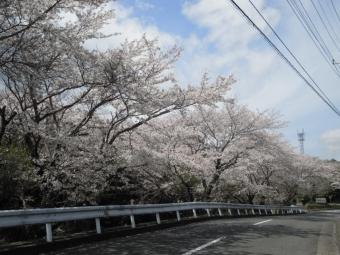 広沢寺のそばの桜210329