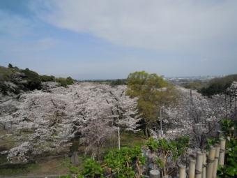 飯山観音駐車場の所の桜210329