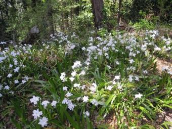 シャガの花210331