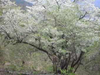 大島桜210404
