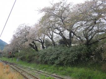 山北駅の桜ほとんど終わり210404