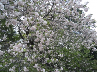 遠藤原神社の八重桜210407