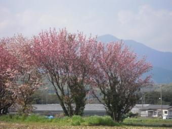 大山と多分八重桜210407