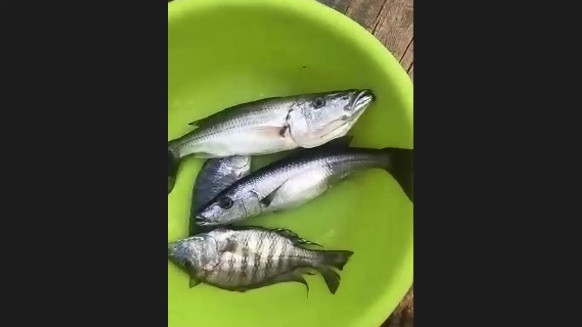 氷見オンライン魚釣り報告15