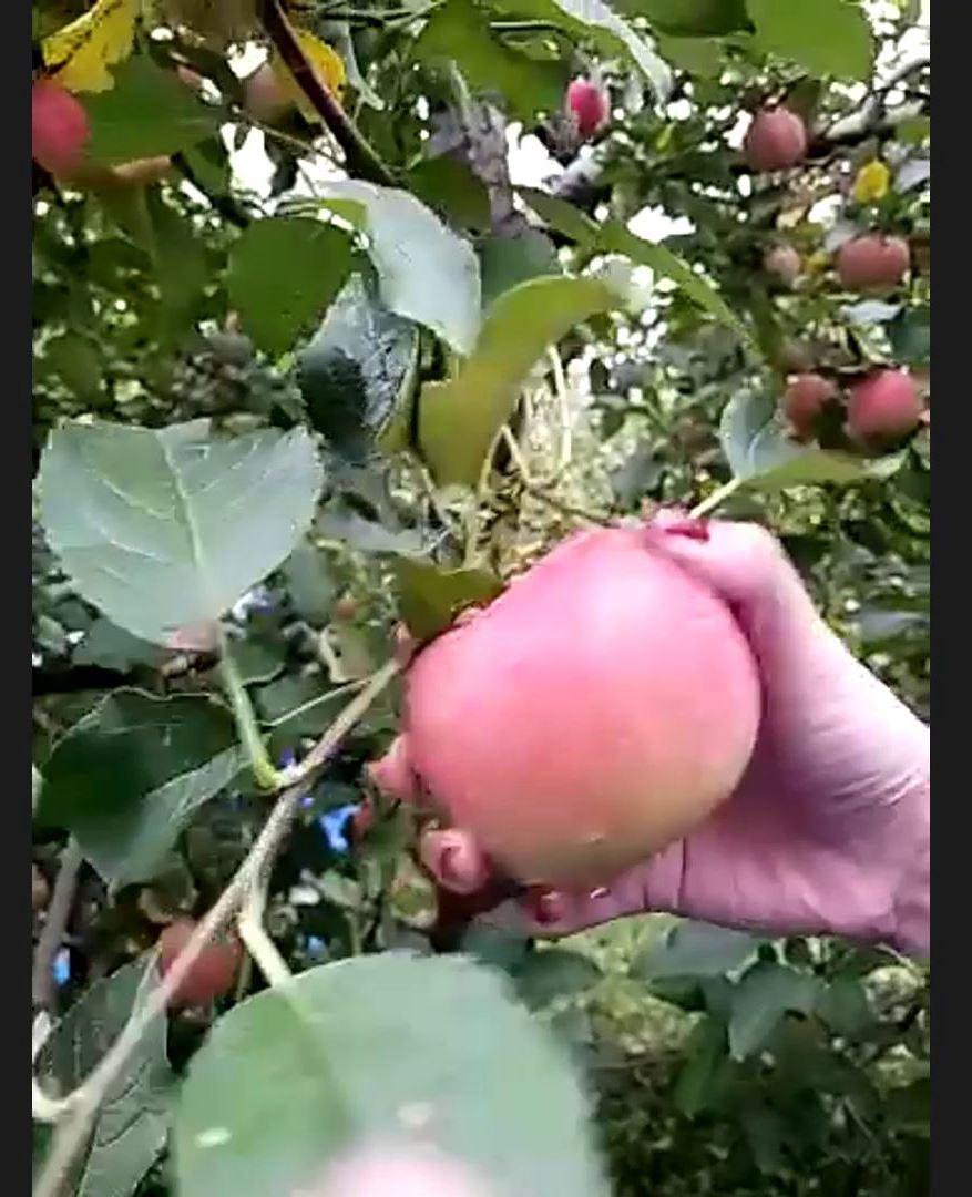 リンゴハンター報告_23