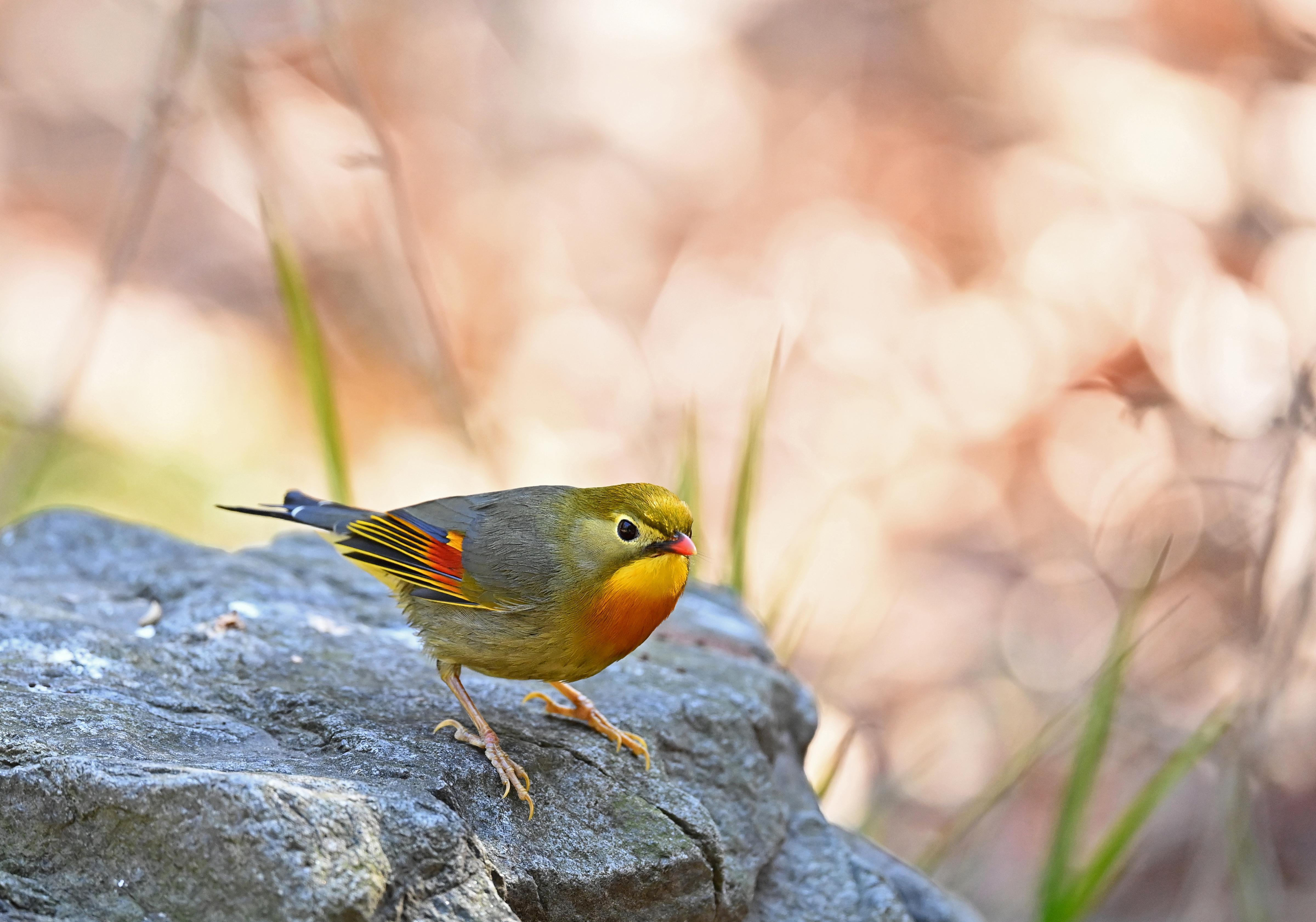 ガリちゃんの鳥撮り記 長期滞在中のソウシチョウ