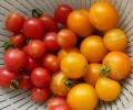 200909mi_tomato2.jpg