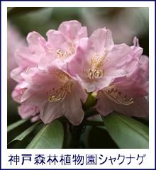 神戸森林植物園シャクナゲ