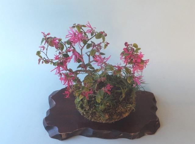 2020-03-17赤花トキワマンサク