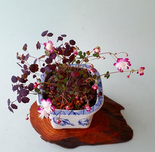 2020-03-27赤花タイワンカラマツ