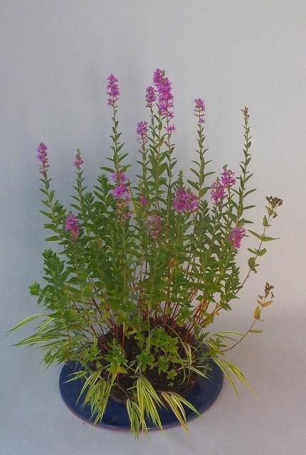 2020-08-13 (ミソハギ)お盆花