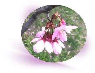 20200324桜A