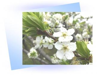 20200331梨の花