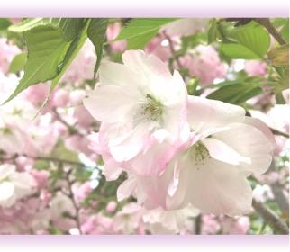 20200407桜B