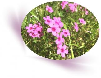 20200519野花A