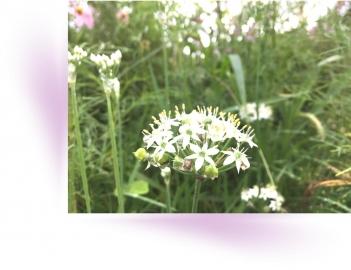 20200915ニラの花A