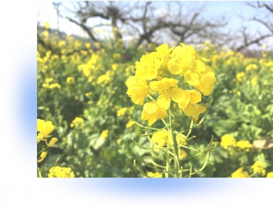 20210216菜の花A