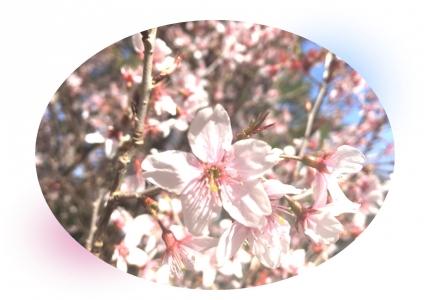 20210330桜A