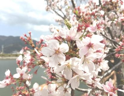 20210406桜B