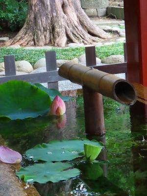 水の中の蓮