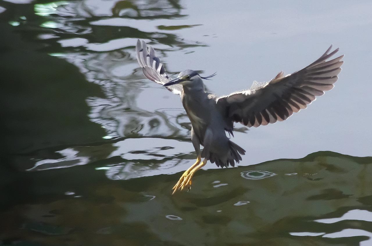 200629ササゴイ大和川2