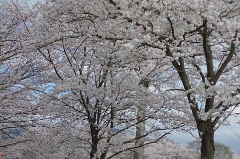 桜200331