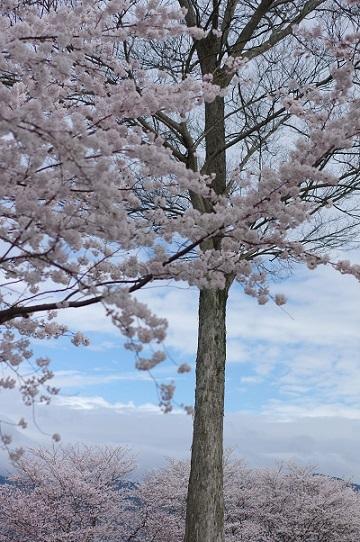 1桜200331