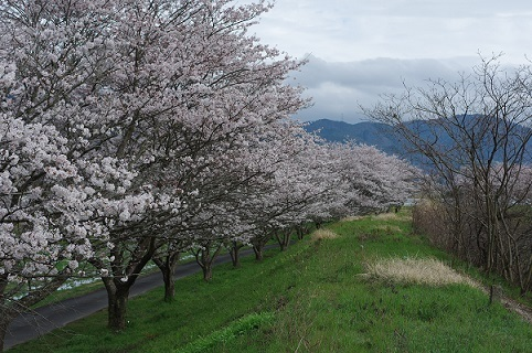桜並木200331