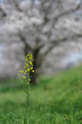 菜の花200331