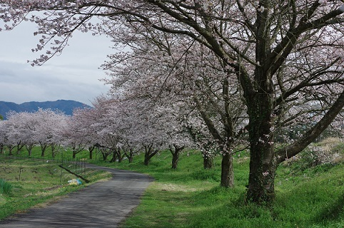 土手の桜200331