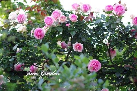 フェンスのバラ200519