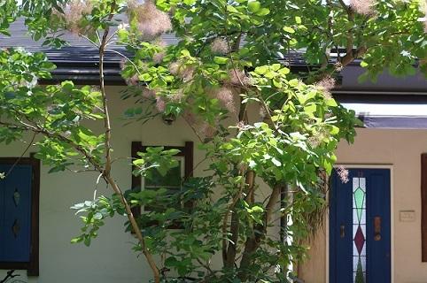 スモークツリー200629
