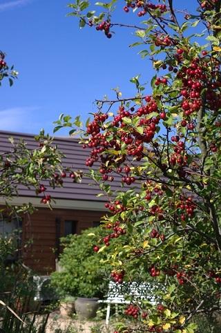 201106ヒメリンゴ