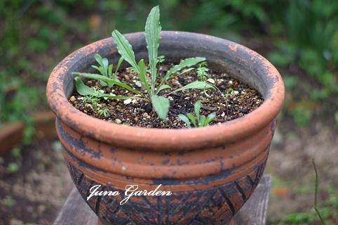 種蒔き寄せ植え201129