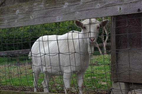 山羊210308