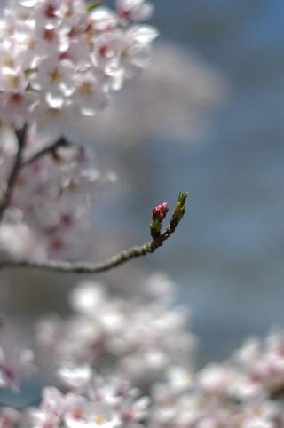 桜2103031