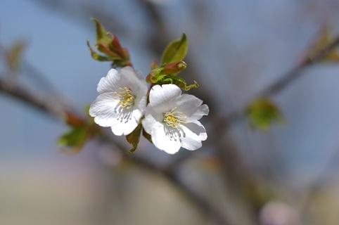 白桜210331