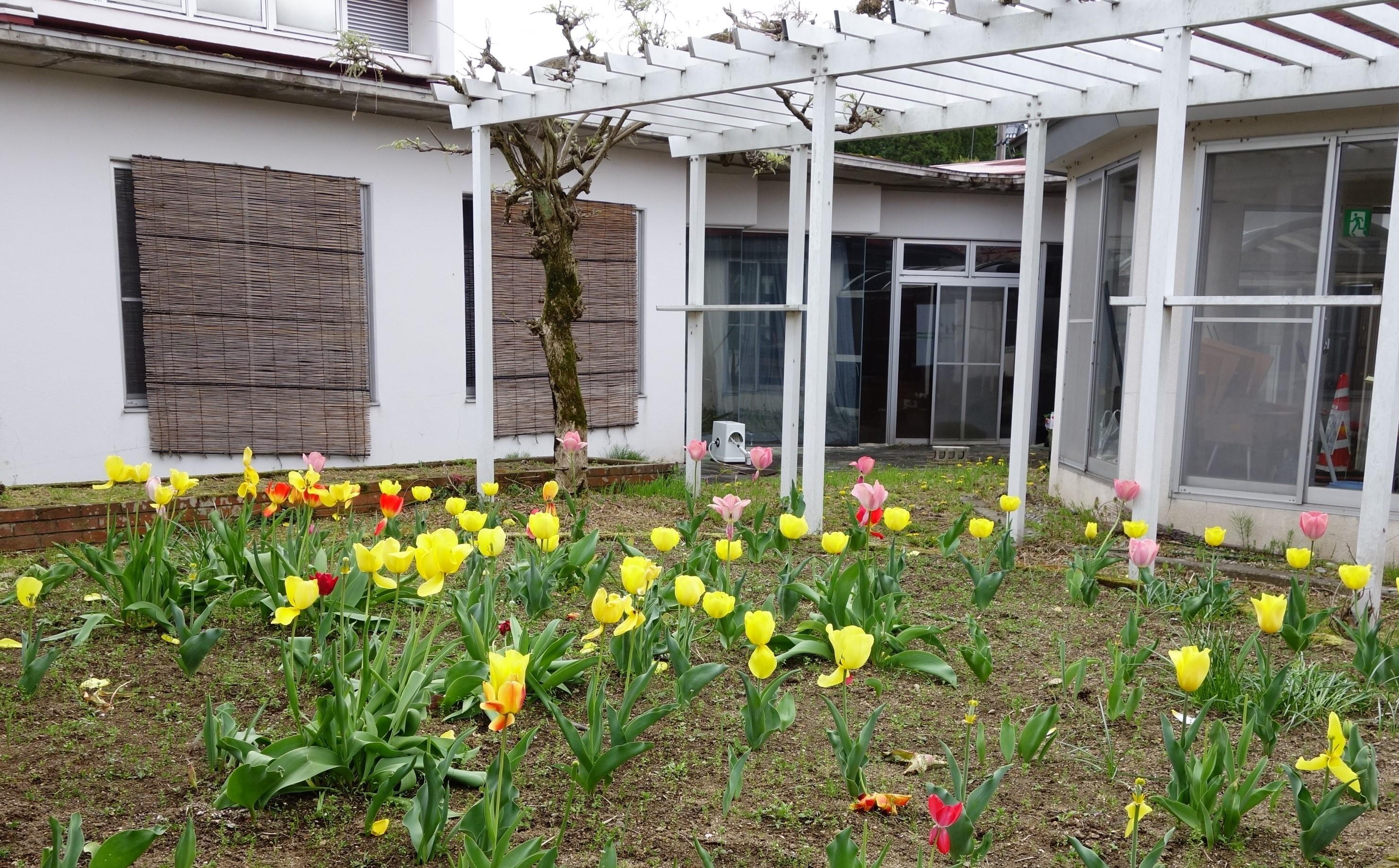 中庭のチューリップ