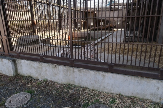 宇都宮動物園 ホワイトタイガー グーナちゃん